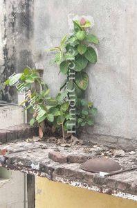 Vat, National tree of India