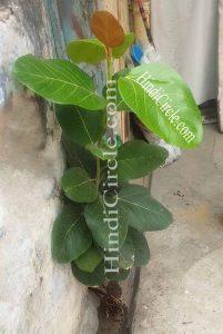 bargad-national-tree-of-india